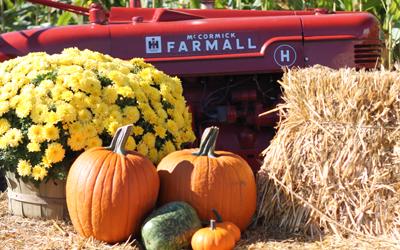 Harvest Festival Pumpkins